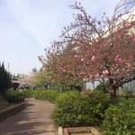 2016年4月9日の大阪の桜