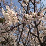 桜の季節に桜!