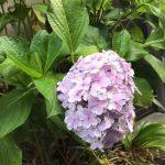 紫陽花が咲く季節です